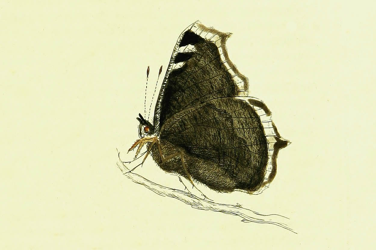 /PicturesNA/Drawings/Butterflies/antiopa_Lewin_1795_back_large.jpg