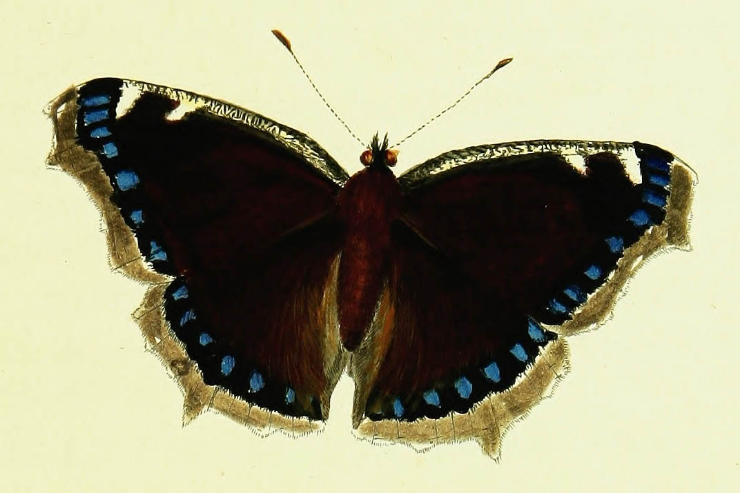 /PicturesNA/Drawings/Butterflies/antiopa_Lewin_1795_front_large.jpg