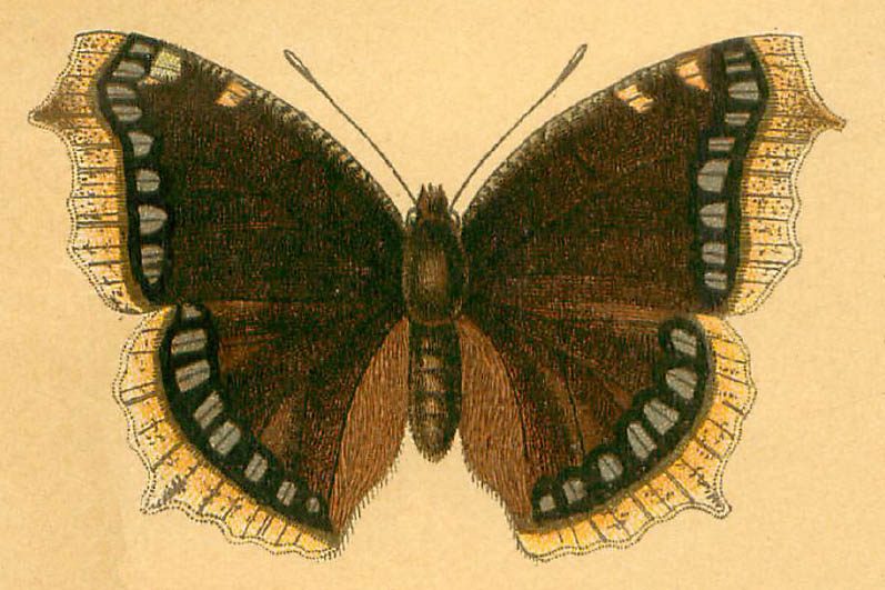 /PicturesNA/Drawings/Butterflies/antiopa_Lutz_1904_front_large.jpg