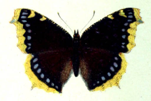 /PicturesNA/Drawings/Butterflies/antiopa_Spuler_1910_front_large.jpg