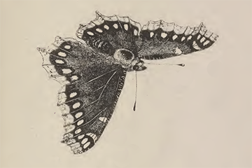 /PicturesNA/Drawings/Butterflies/antiopa_harris_1766_front_medium.png