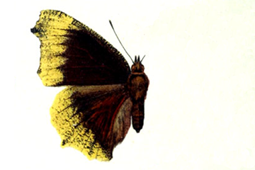 /PicturesNA/Drawings/Butterflies/antiopa_hygiaea_Spuler_1910_front_medium.png