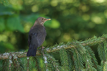/PicturesNA/Photos/Birds/Daniels/Turdus_merula_Hinterzarten_Daniels_2017-07-05_medium.jpg