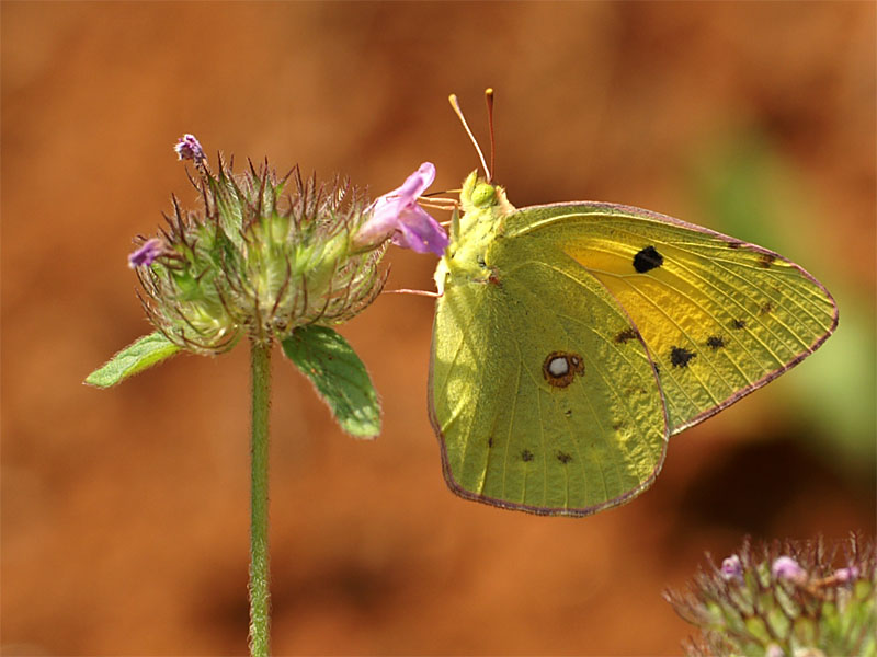 /PicturesNA/Photos/Butterflies/Daniels/Colias_crocea_Potamia_2007_06_21.jpg