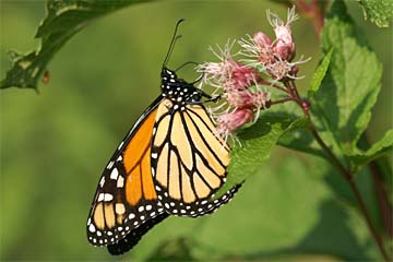 /PicturesNA/Photos/Butterflies/Daniels/Danaus_plexippus_plymouth_vermont_2008_09_24_medium.jpg