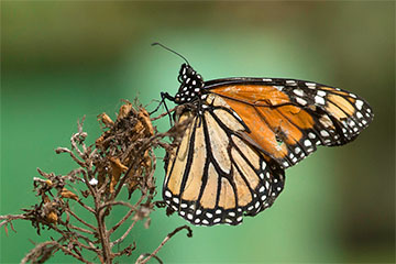 /PicturesNA/Photos/Butterflies/Daniels/Danaus_plexippus_teneriffa_2014_10_16_medium.jpg