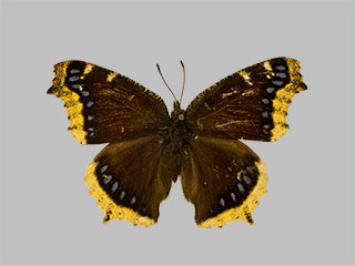 /PicturesNA/Photos/Butterflies/Daniels/ID0005_2009_10_23_antiopa_hyperborea_front_medium.jpg