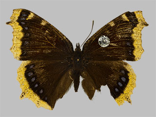 /PicturesNA/Photos/Butterflies/Daniels/ID0008_2009_10_23_antiopa_front_medium.jpg