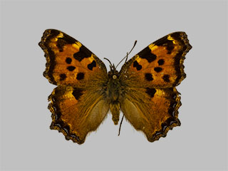 /PicturesNA/Photos/Butterflies/Daniels/ID0013_2009_10_23_polychloros_front_medium.jpg