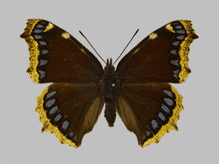 /PicturesNA/Photos/Butterflies/Daniels/ID0049_2009_10_23_antiopa_artemis_front_medium.jpg