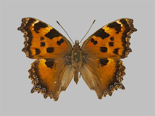 /PicturesNA/Photos/Butterflies/Daniels/ID0083_2009_10_23_xanthomelas_front_medium.jpg