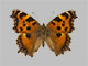 /PicturesNA/Photos/Butterflies/Daniels/ID0083_2009_10_23_xanthomelas_front_small.jpg