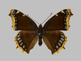 /PicturesNA/Photos/Butterflies/Daniels/ID0104_2010_02_24_antiopa_artemis_front_medium.jpg