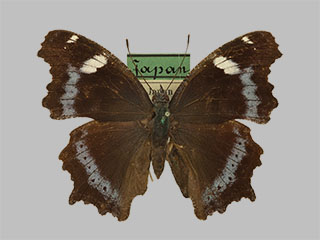 /PicturesNA/Photos/Butterflies/Daniels/ID0123_2010_02_24_canace_front_medium.jpg