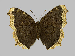 /PicturesNA/Photos/Butterflies/Daniels/ID0200_2013_10_22_antiopa_yedaluna_back_medium.jpg