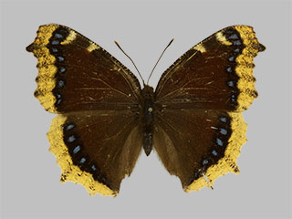 /PicturesNA/Photos/Butterflies/Daniels/ID0200_2013_10_22_antiopa_yedaluna_front_medium.jpg