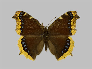 /PicturesNA/Photos/Butterflies/Daniels/ID0201_2013_10_22_antiopa_yedaluna_front_medium.jpg