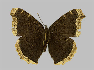 /PicturesNA/Photos/Butterflies/Daniels/ID0202_2013_10_22_antiopa_yedaluna_back_medium.jpg