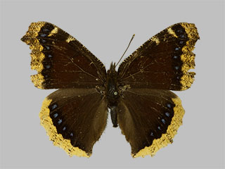 /PicturesNA/Photos/Butterflies/Daniels/ID0202_2013_10_22_antiopa_yedaluna_front_medium.jpg