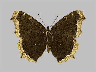 /PicturesNA/Photos/Butterflies/Daniels/ID0203_2013_10_22_antiopa_yedaluna_back_medium.jpg