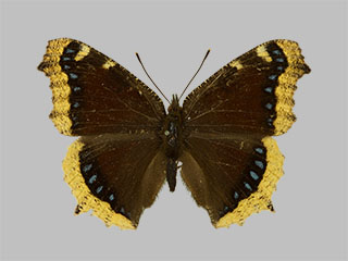 /PicturesNA/Photos/Butterflies/Daniels/ID0203_2013_10_22_antiopa_yedaluna_front_medium.jpg