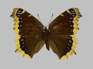 /PicturesNA/Photos/Butterflies/Daniels/ID0204_2013_10_22_antiopa_front_medium.jpg