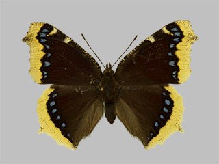 /PicturesNA/Photos/Butterflies/Daniels/ID0205_2013_10_22_antiopa_front_medium.jpg