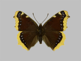 /PicturesNA/Photos/Butterflies/Daniels/ID0206_2013_10_22_antiopa_front_medium.jpg