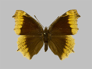 /PicturesNA/Photos/Butterflies/Daniels/ID0207_2013_10_22_antiopa_hygiaea_front_medium.jpg