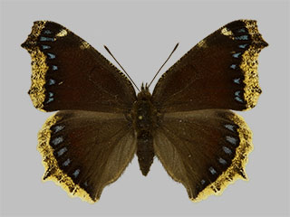 /PicturesNA/Photos/Butterflies/Daniels/ID0208_2013_10_22_antiopa_daubii_front_medium.jpg