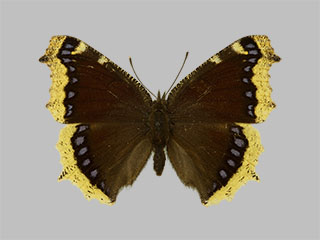 /PicturesNA/Photos/Butterflies/Daniels/ID0209_2013_10_22_antiopa_front_medium.jpg