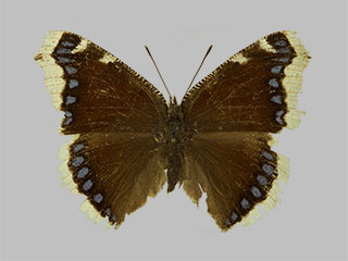 /PicturesNA/Photos/Butterflies/Daniels/ID0212_2013_10_22_antiopa_borealis_front_medium.jpg