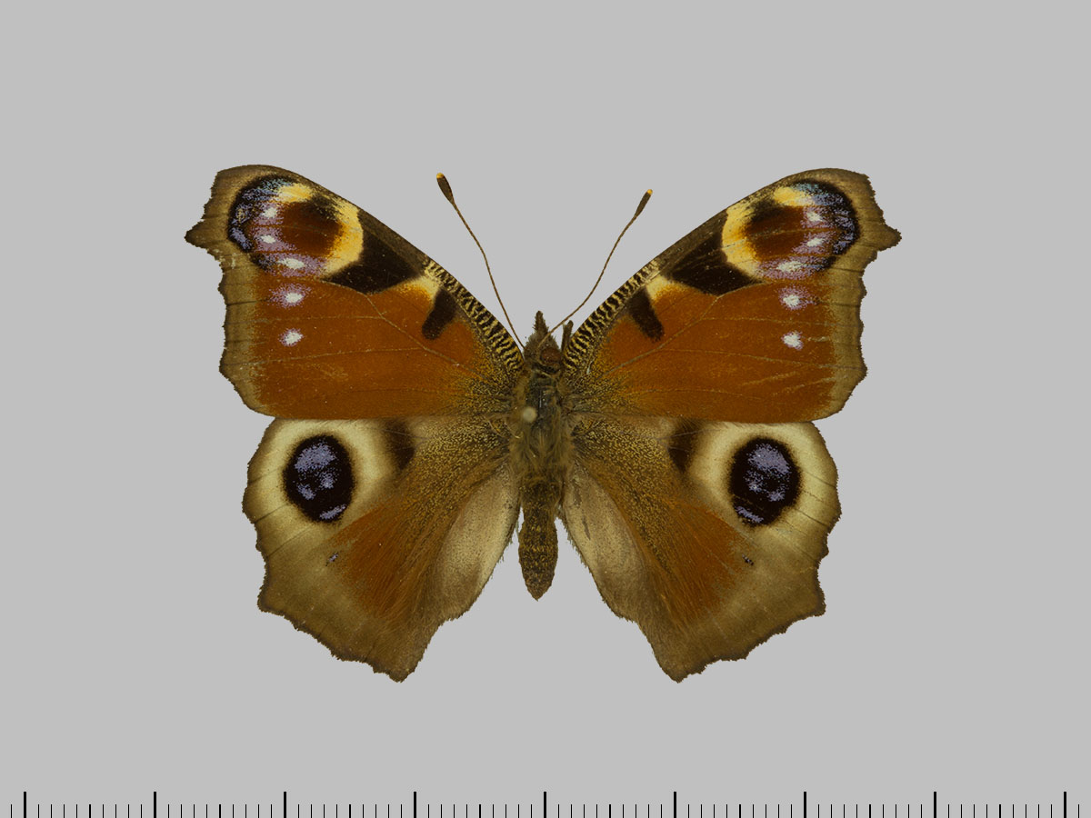 /PicturesNA/Photos/Butterflies/Daniels/ID0213_2013_10_22_io_front_large.jpg