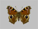 /PicturesNA/Photos/Butterflies/Daniels/ID0213_2013_10_22_io_front_small.jpg