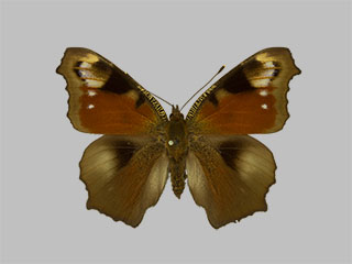 /PicturesNA/Photos/Butterflies/Daniels/ID0214_2013_10_22_io_belisaria_front_medium.jpg