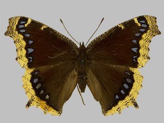 /PicturesNA/Photos/Butterflies/Daniels/ID0216_2013_10_22_antiopa_lintnerii_front_medium.jpg