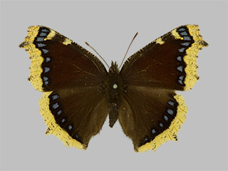 /PicturesNA/Photos/Butterflies/Daniels/ID0218_2013_10_22_antiopa_front_medium.jpg