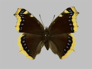 /PicturesNA/Photos/Butterflies/Daniels/ID0219_2013_10_22_antiopa_front_medium.jpg