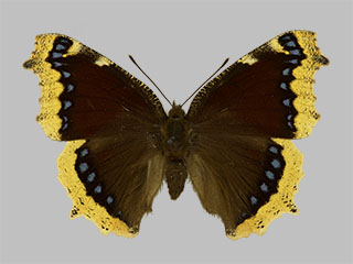 /PicturesNA/Photos/Butterflies/Daniels/ID0220_2013_10_22_antiopa_front_medium.jpg