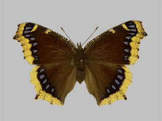 /PicturesNA/Photos/Butterflies/Daniels/ID0221_2013_10_22_antiopa_lintnerii_front_medium.jpg