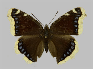 /PicturesNA/Photos/Butterflies/Daniels/ID0223_2013_10_22_antiopa_front_medium.jpg