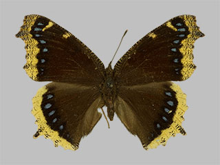 /PicturesNA/Photos/Butterflies/Daniels/ID0225_2013_10_22_antiopa_lintnerii_front_medium.jpg