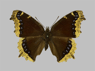 /PicturesNA/Photos/Butterflies/Daniels/ID0226_2013_10_22_antiopa_lintnerii_front_medium.jpg