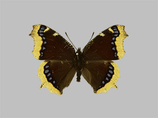 /PicturesNA/Photos/Butterflies/Daniels/ID0227_2013_10_22_antiopa_front_medium.jpg