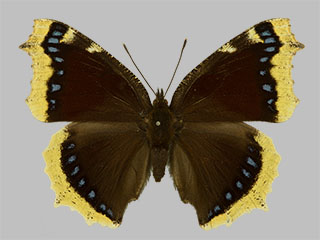 /PicturesNA/Photos/Butterflies/Daniels/ID0228_2013_10_22_antiopa_front_medium.jpg