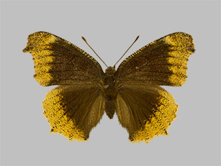 /PicturesNA/Photos/Butterflies/Daniels/ID0230_2013_10_22_antiopa_hygiaea_front_medium.jpg