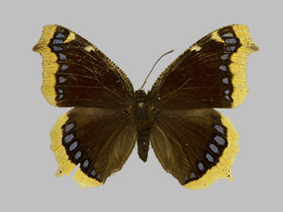 /PicturesNA/Photos/Butterflies/Daniels/ID0232_2013_10_22_antiopa_front_medium.jpg