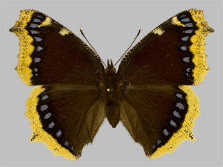 /PicturesNA/Photos/Butterflies/Daniels/ID0235_2013_10_22_antiopa_front_medium.jpg