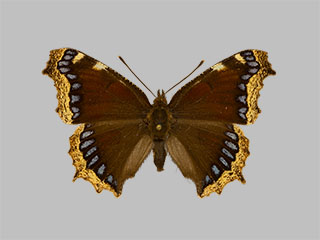 /PicturesNA/Photos/Butterflies/Daniels/ID0300_2014_01_30_antiopa_artemis_front_medium.jpg