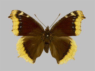 /PicturesNA/Photos/Butterflies/Daniels/ID0301_2014_01_30_antiopa_front_medium.jpg